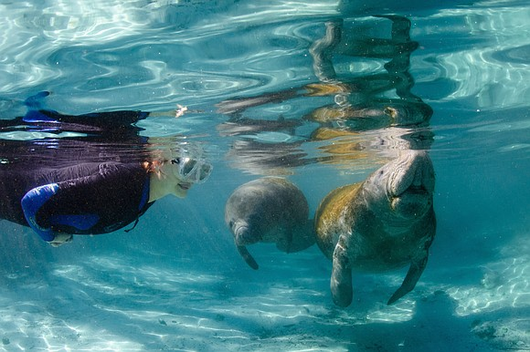 Swim with the Manatees in Crystal River, FL